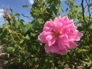 Organic Rosa Damascena