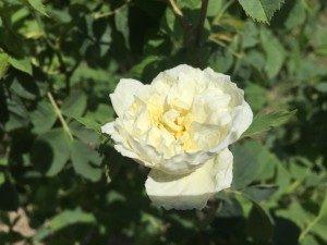 Organic rose fields